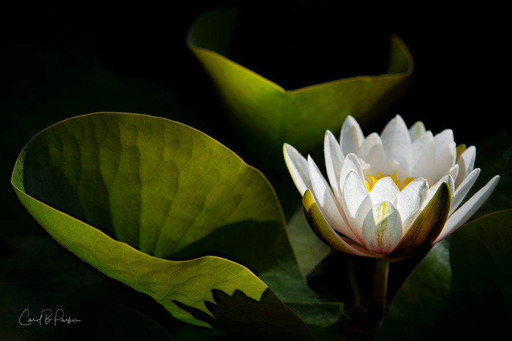 White Water Lily - digital signature