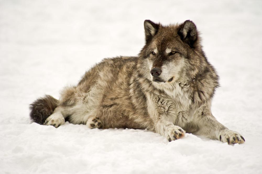 Alpha Wolf No. 2