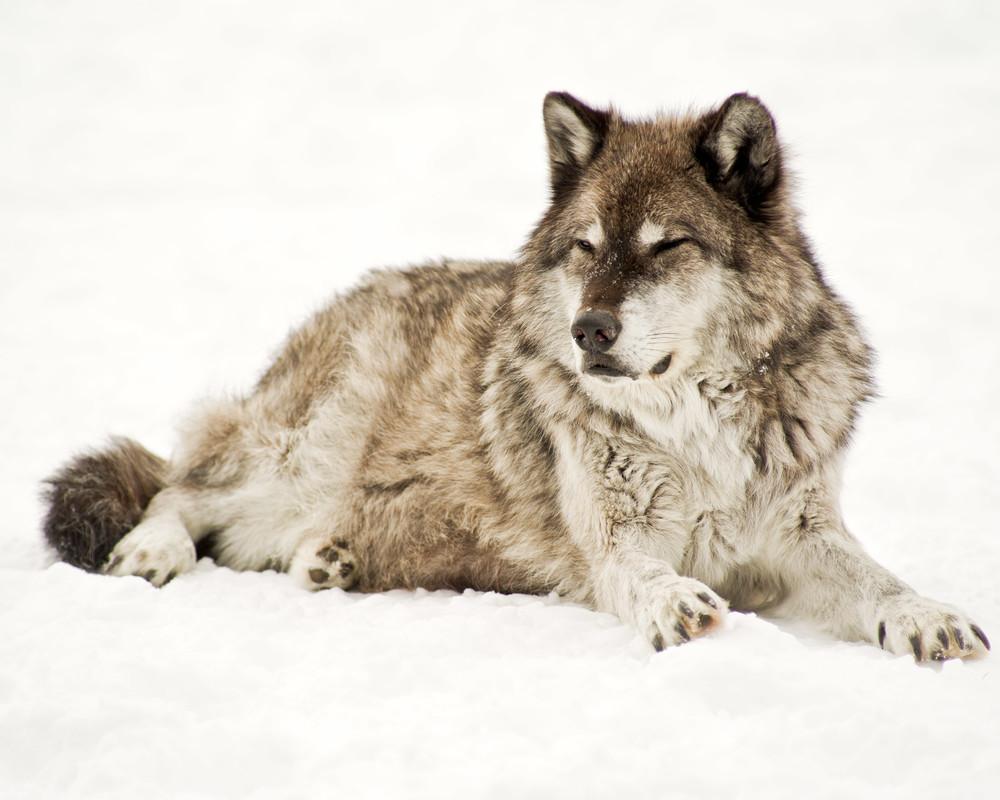Alpha Wolf No. 1