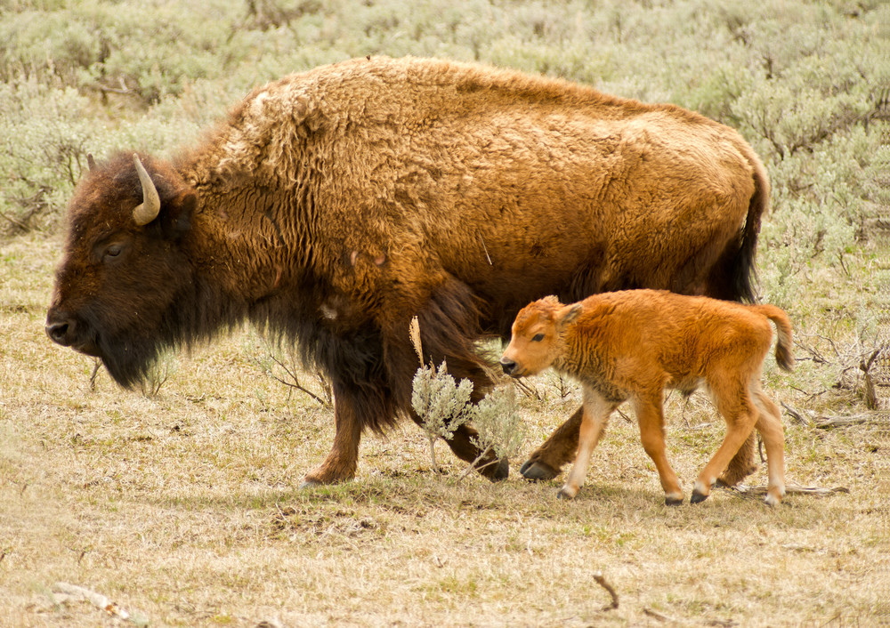 Buffalo and Babe