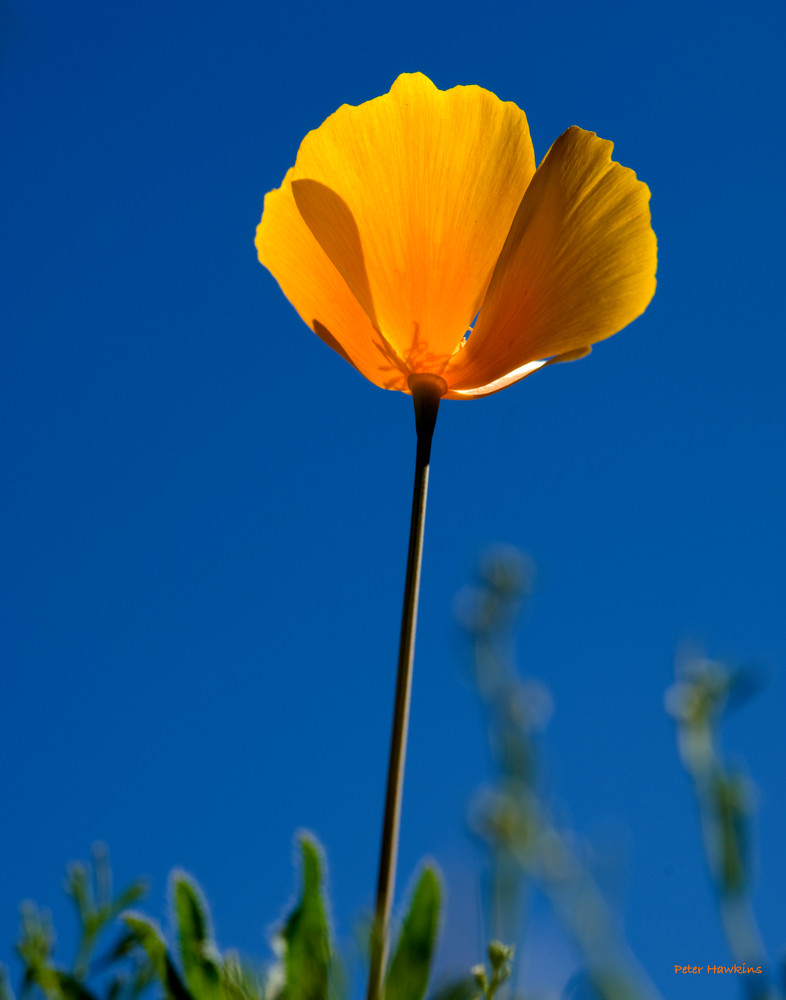 DP403 Mexican Poppy