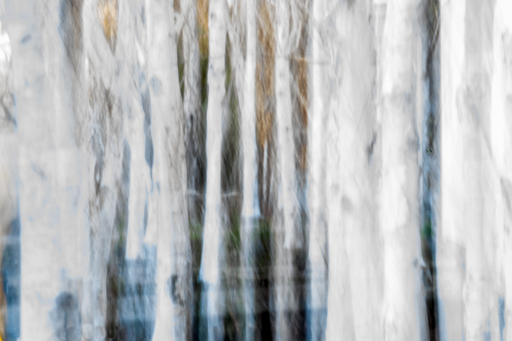 Forest for the Trees - White birch grove in California intentional movement abstract photograph print