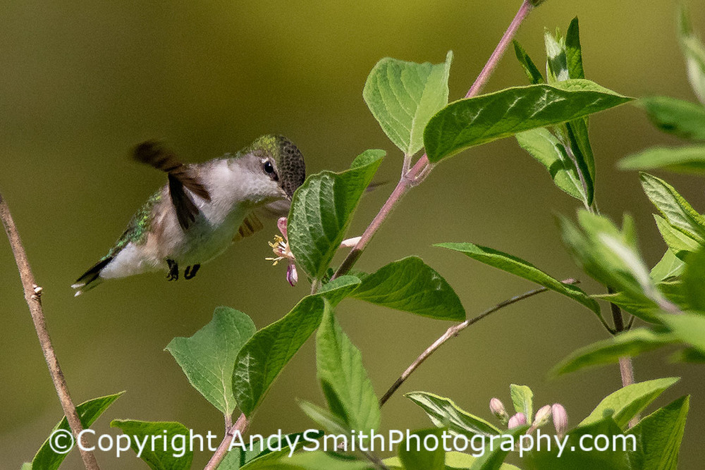 fine art photograph of Ruby-throated Hummingbird