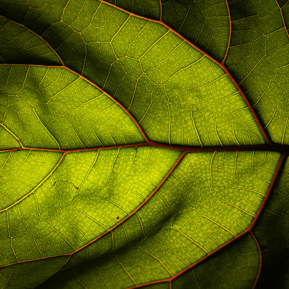 Fiddle Fig Photography Art | Spry Gallery