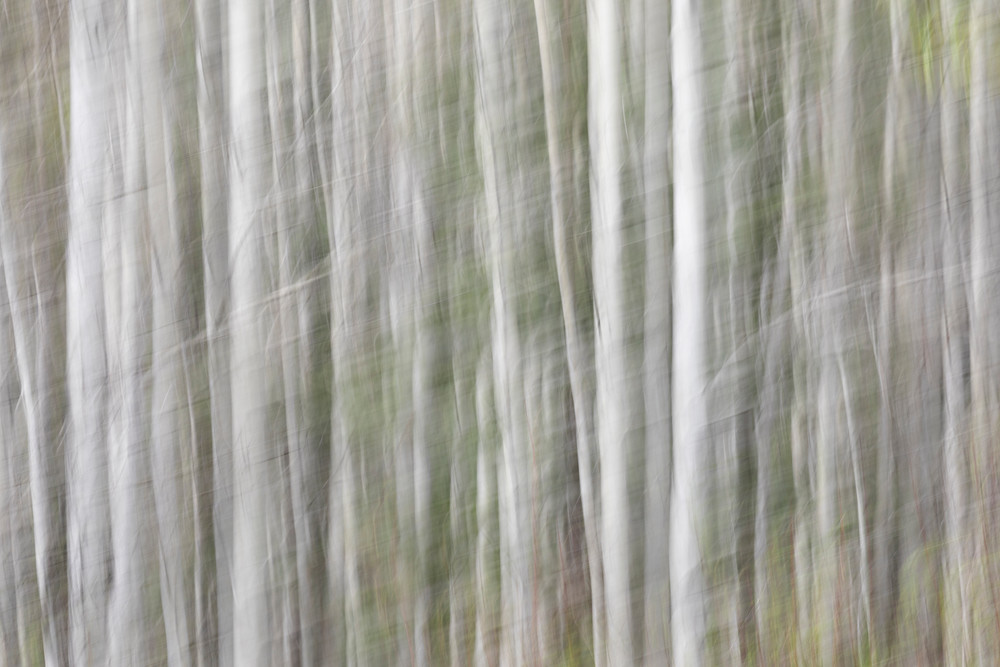 Birch Trees in Spring | Terrill Bodner Photographic Art