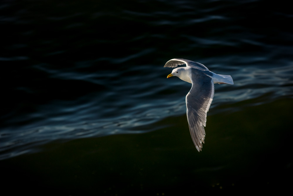 Seagull in Flight, Puget Sound,Seattle, Washington
