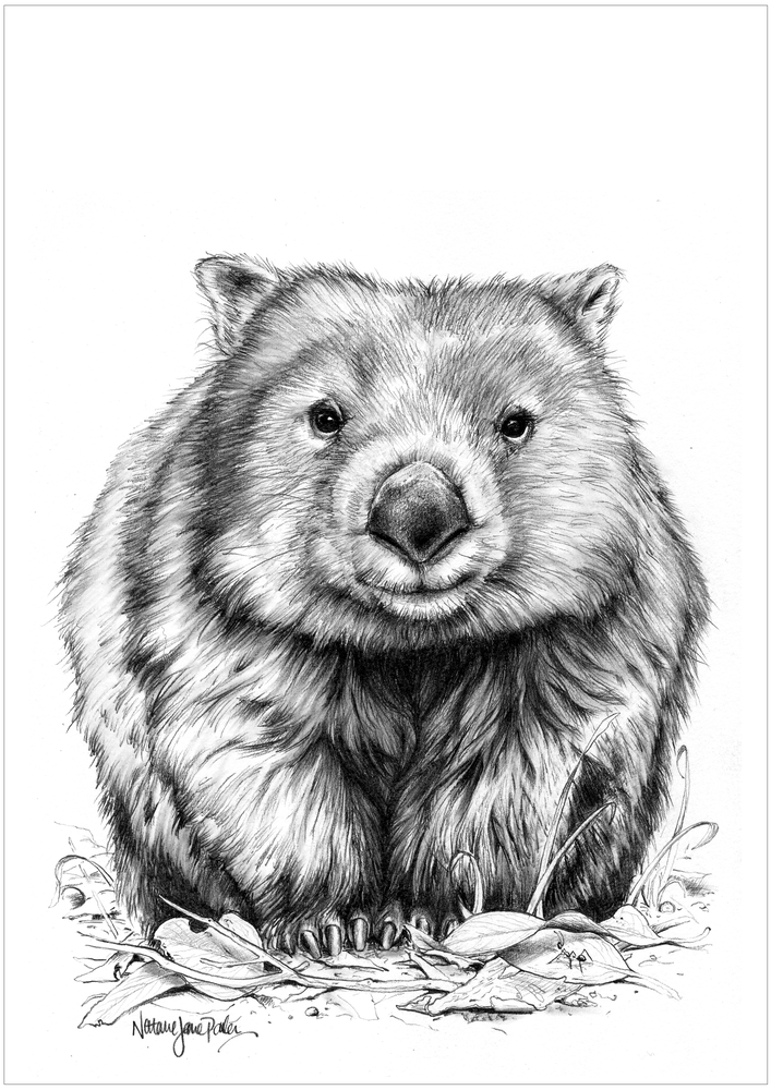 One Little Wombat - Common Wombat Pencil Drawing Australian Wildlife Drawing - (Vombatidae) bare-nosed wombat