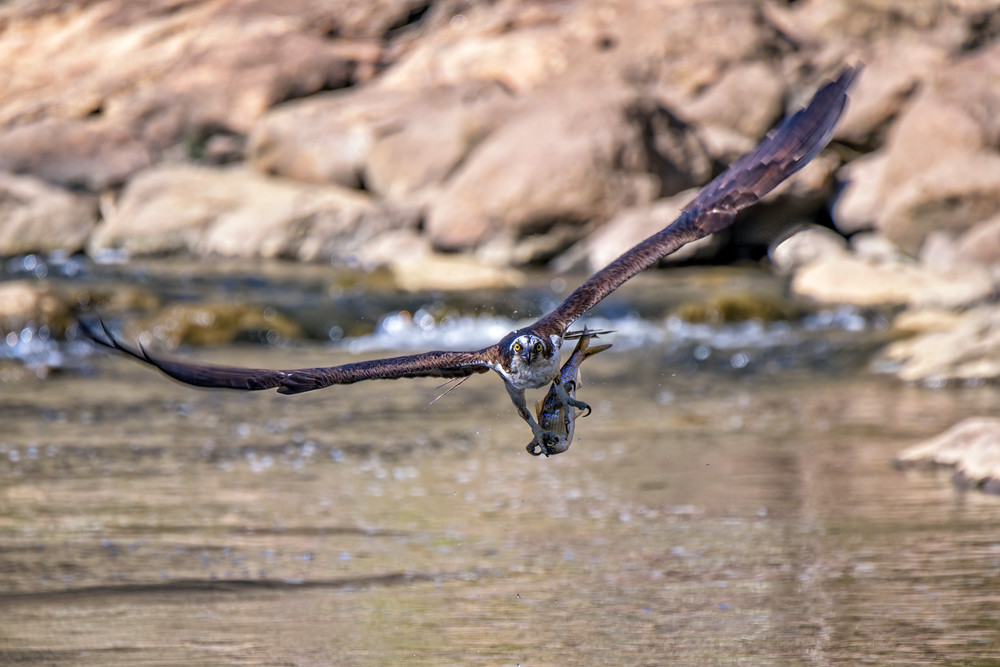 Osprey With a Meal | Shop Photography by Rick Berk