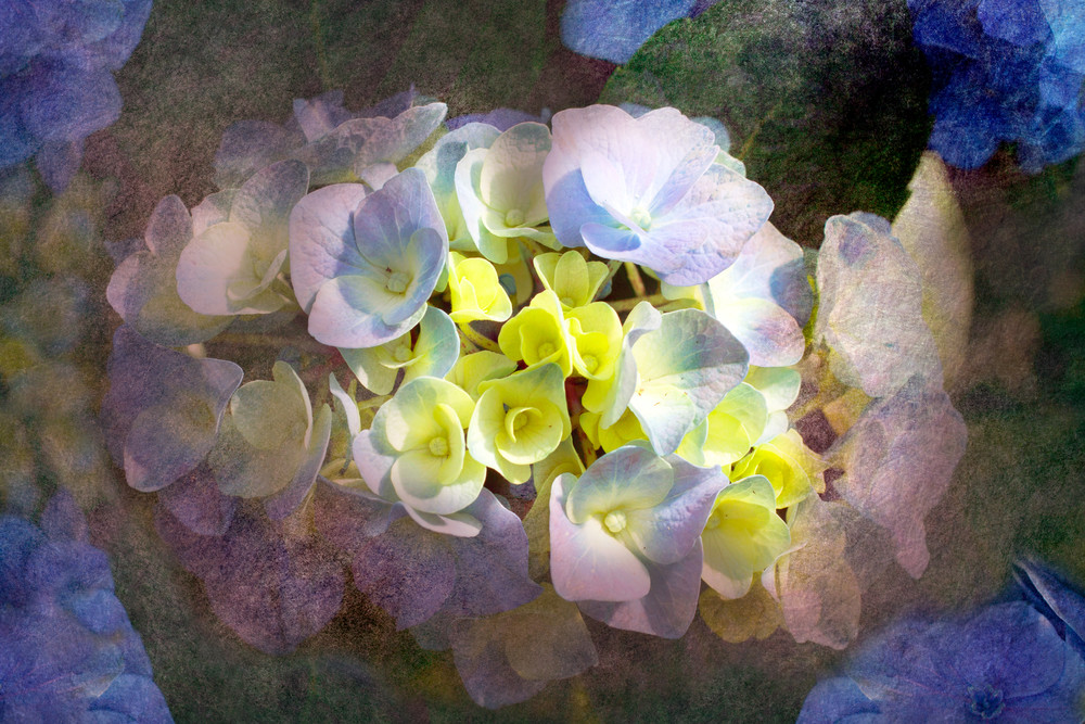 Horizontal Textured Hydrangeas, by Laura Grisamore