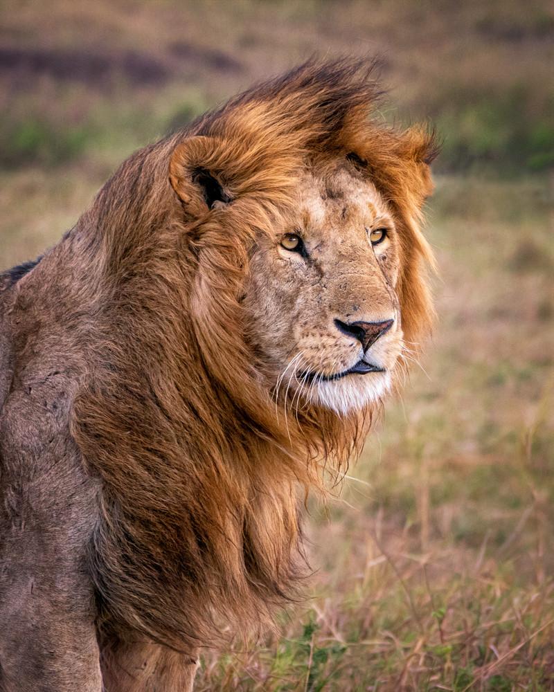 A Lion's Mane Photography Art | Carol Brooks Parker Fine Art Photography