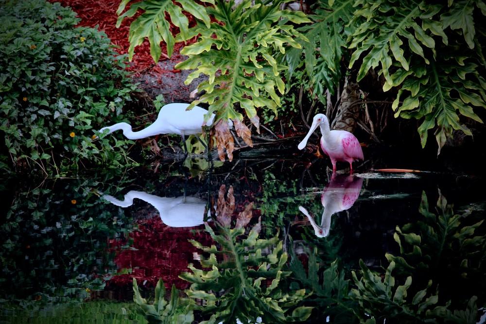 Roseate & Great White Egret Art | CJ Harding