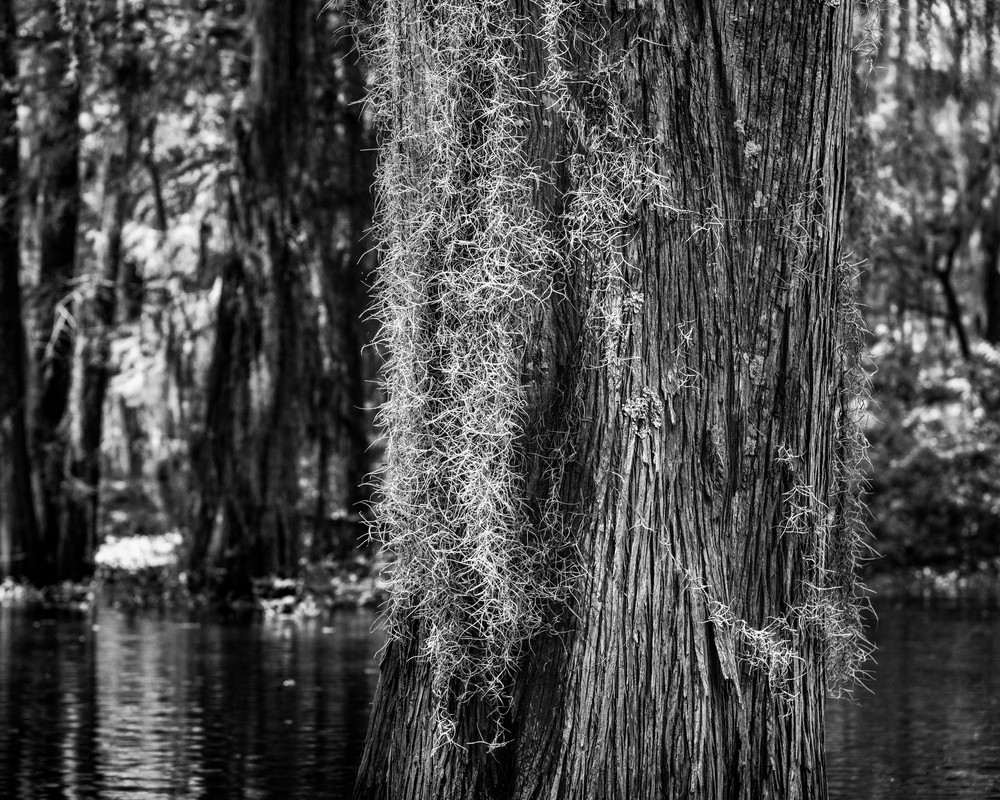 Bearded Cypress Photography Art | Andy Crawford Photography - Fine-art photography