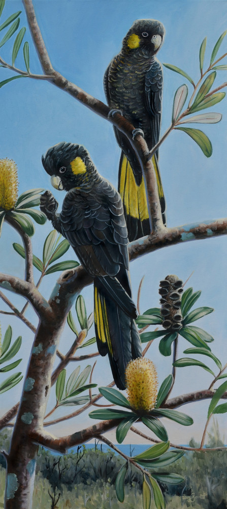 Yellow-tailed Black Cockatoos - Banksia Lanterns