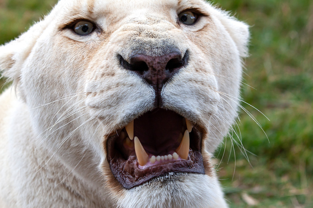 Lioness' Warning Photography Art   Josh Kimball Photography