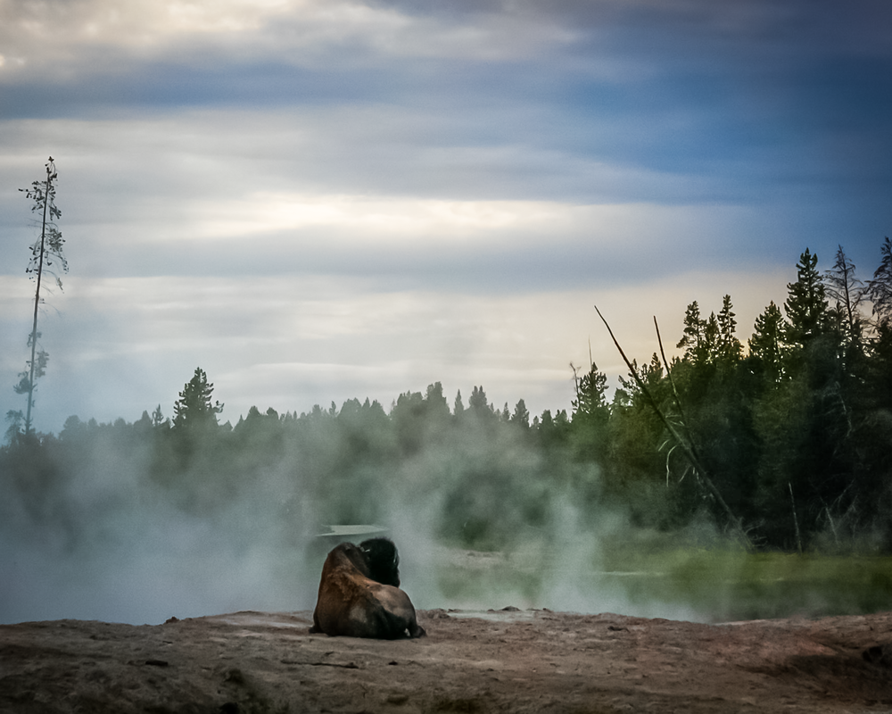Bison In The Mists Photography Art | Happy Hogtor Photography