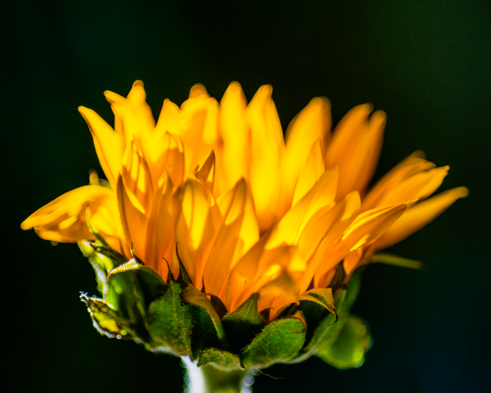 Glowing Sunflower Photography Art   Happy Hogtor Photography