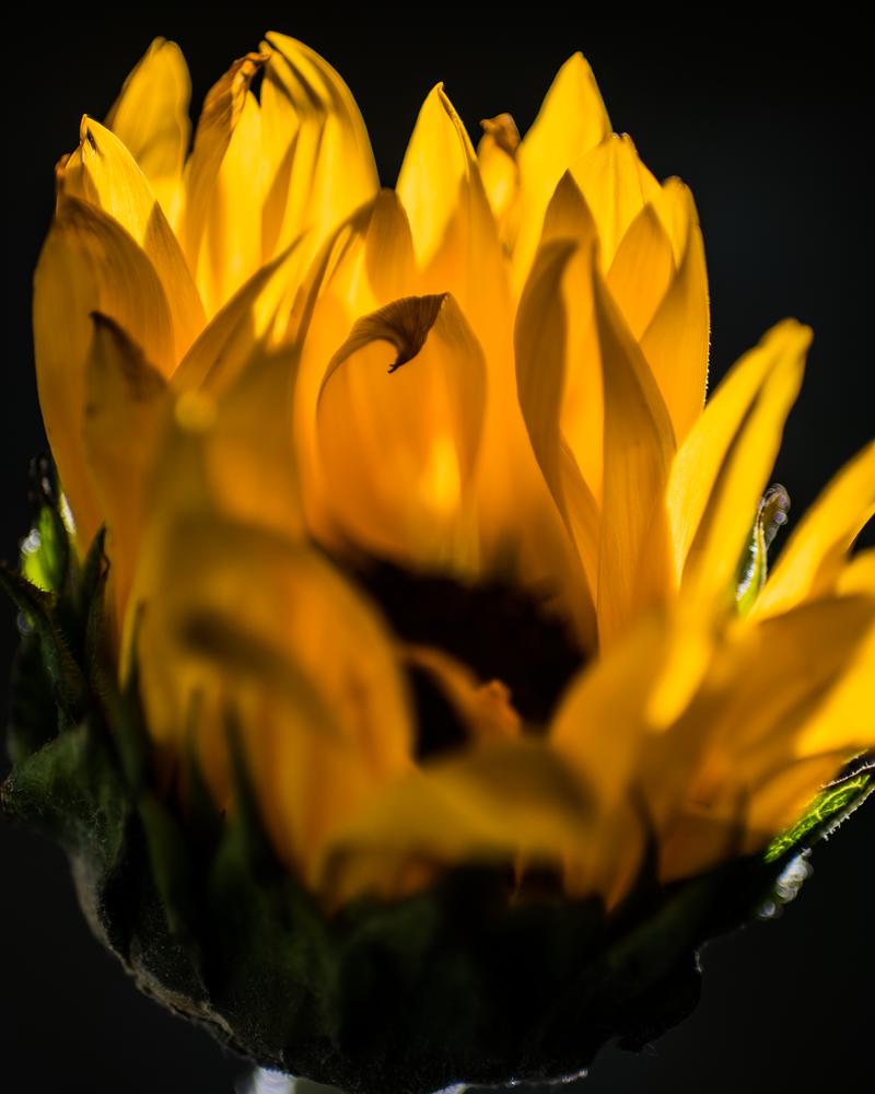 Sunflower In The Dark Photography Art | Happy Hogtor Photography