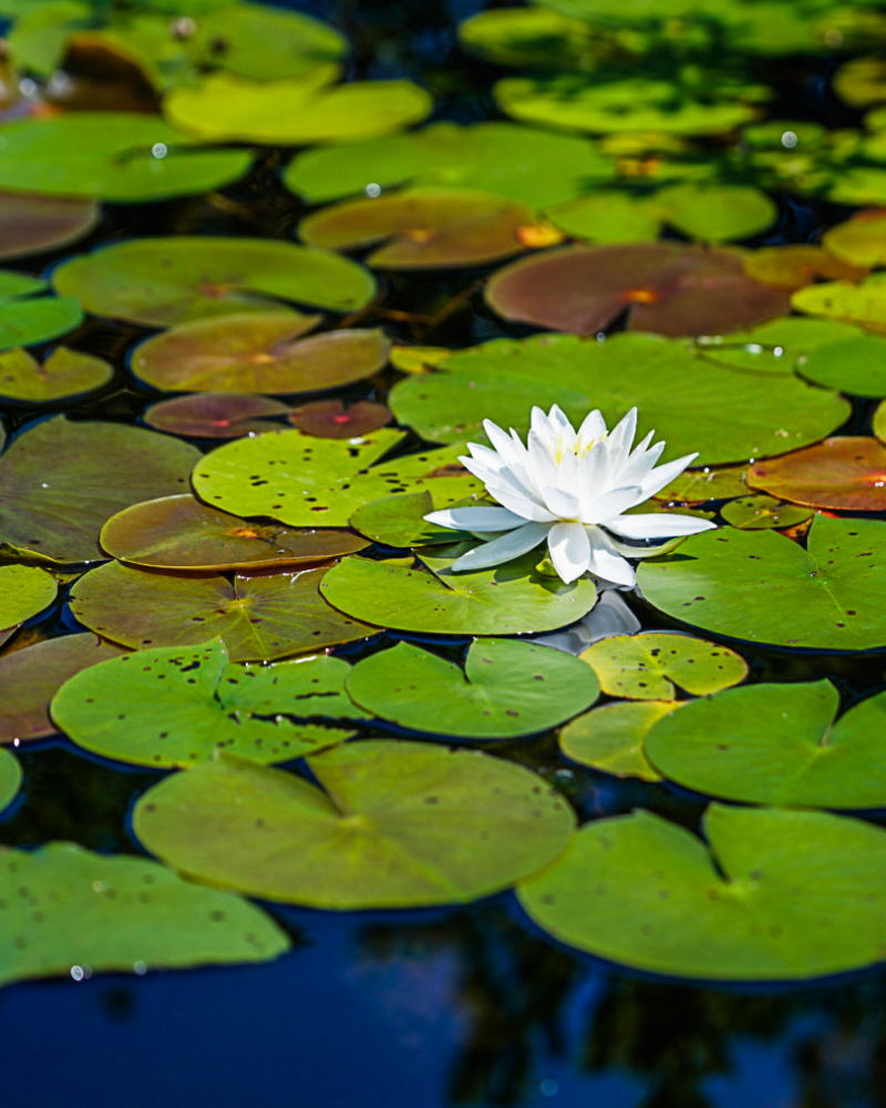 Bright White Water Lily Photography Art | Happy Hogtor Photography
