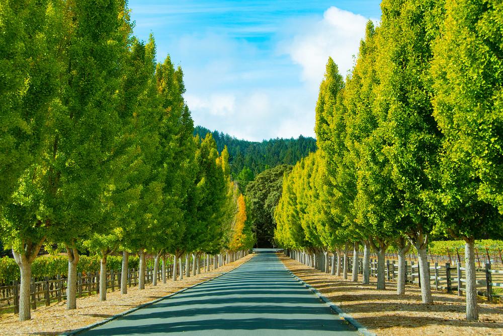 Tree Line California Napa Valley Vineyard Photographs – Far Niente Winery Grapes Fine Art Prints on Canvas, Paper, Metal & More