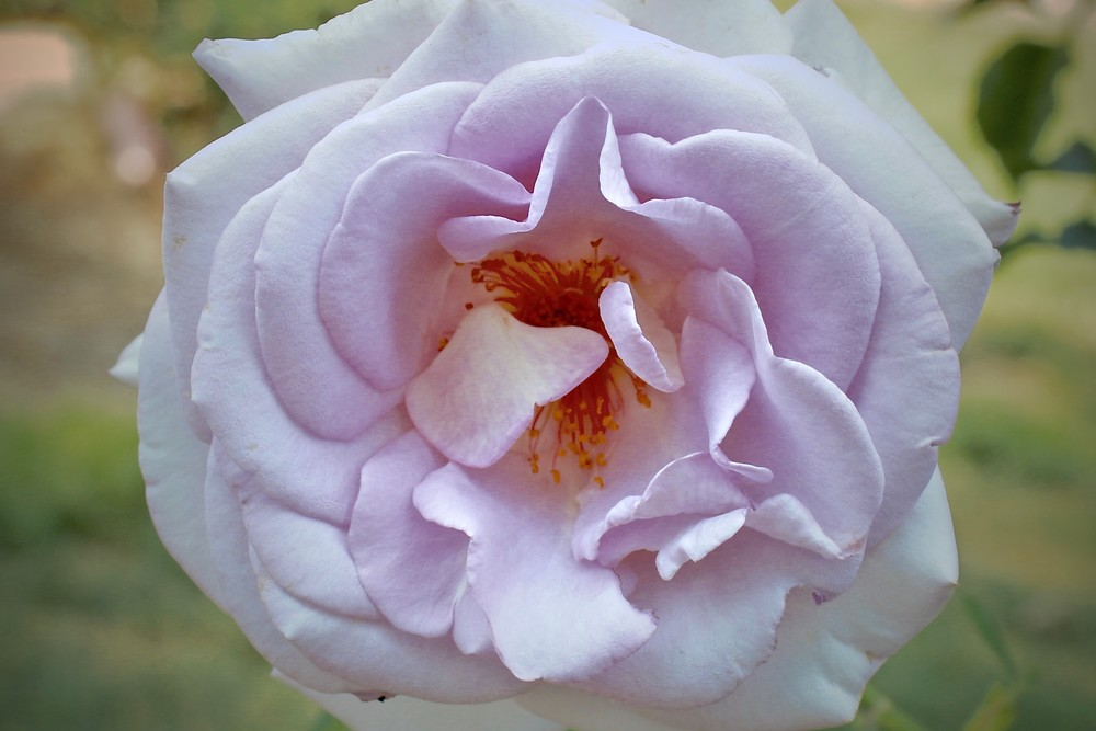 Pink Rose Photography Art | CJ Harding