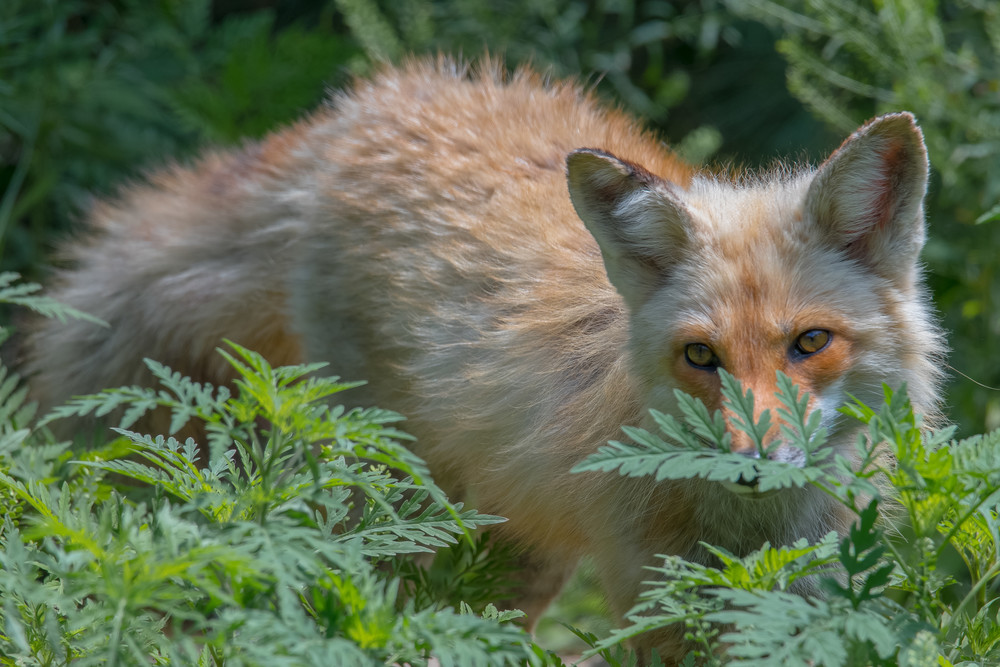 Fox In The Bushes Photography Art | Jesse MacDonald Photography