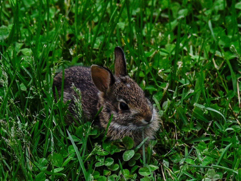 Baby Bunny Hiding In The Clover Photography Art   N2 the Woods Photography