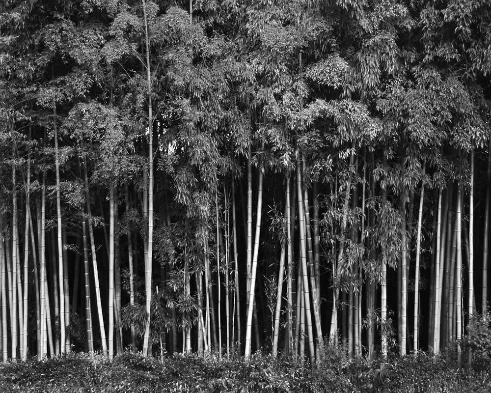 Bamboo in Japan Photograph - Zen Photography - Fine Art Prints on Canvas, Paper, Metal & More