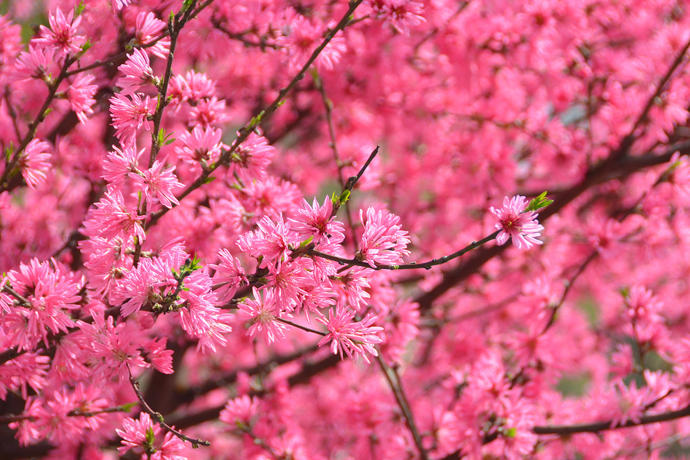 Pink Cherry Blossom in Japan Photograph - Zen Photography - Fine Art Prints on Canvas, Paper, Metal & More