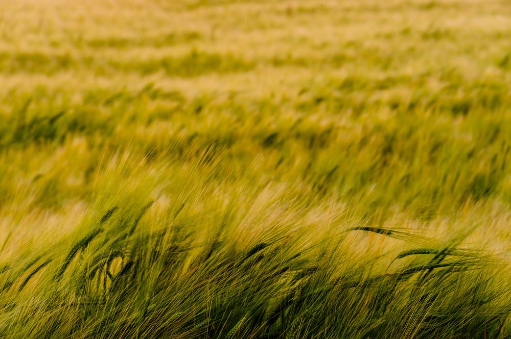 Barley Field No. 1, Whidbey Island, Washington, 2016