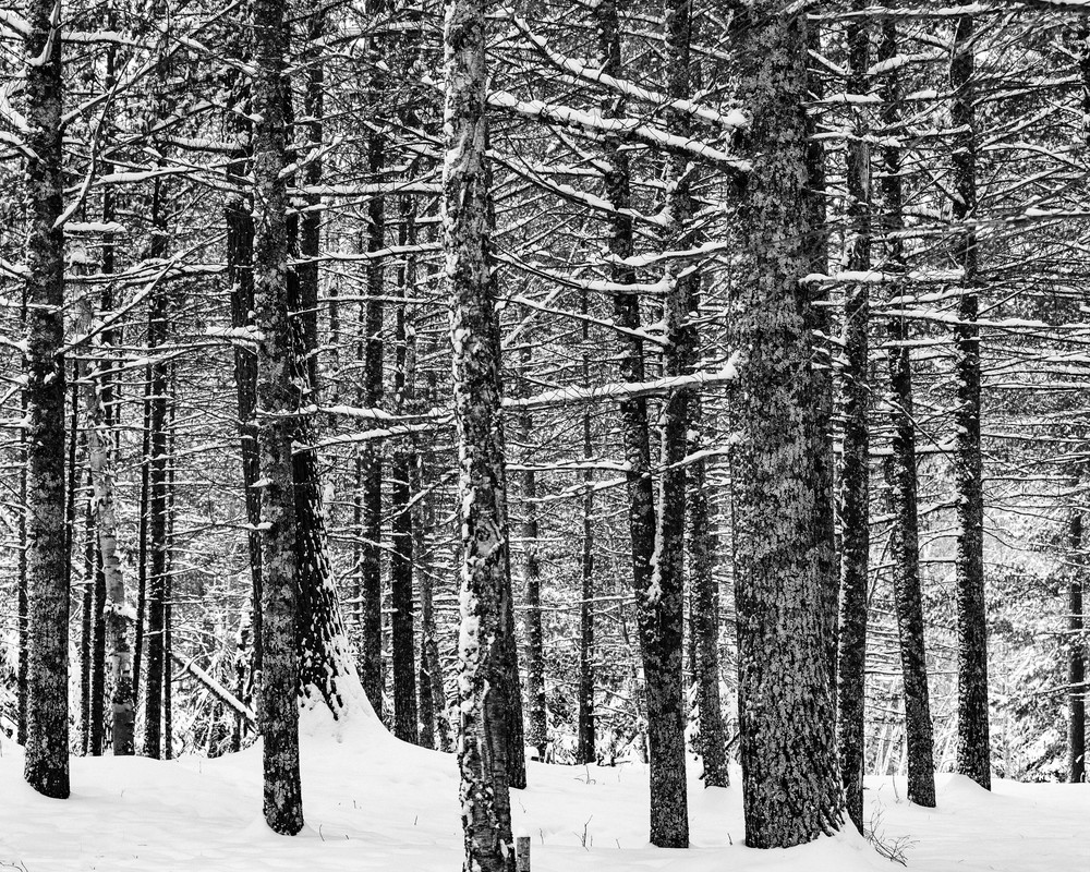 Pine Trees in Winter I, By Jeremy Simonson