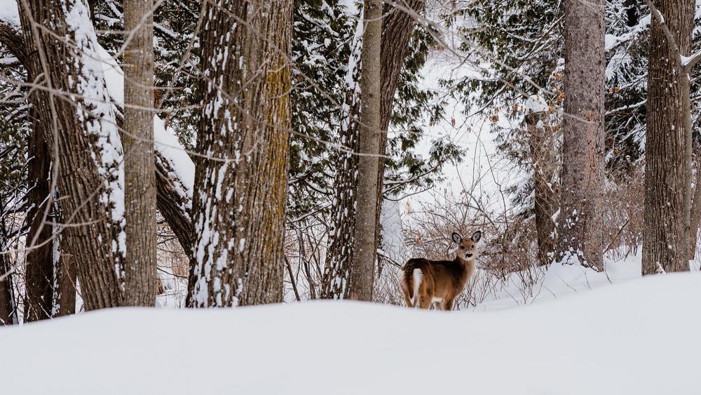 Deer - Winter by Jeremy Simonson