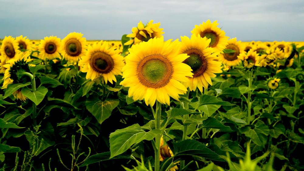 Sunflowers Photography Art | Hatch Photo Artistry LLC