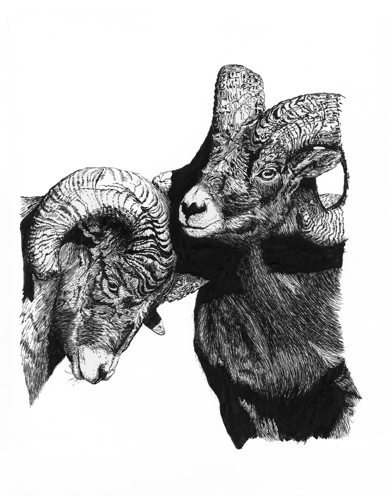 """Sizing Each Other Up""   Rocky Mountain Bighorn Sheep (Rams) Art 