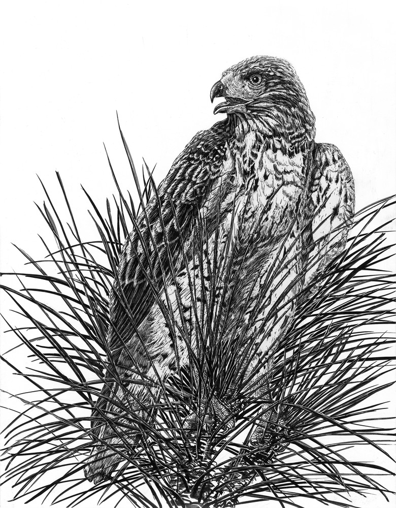 """Top Of The Pine""   Red Tailed Hawk Art 