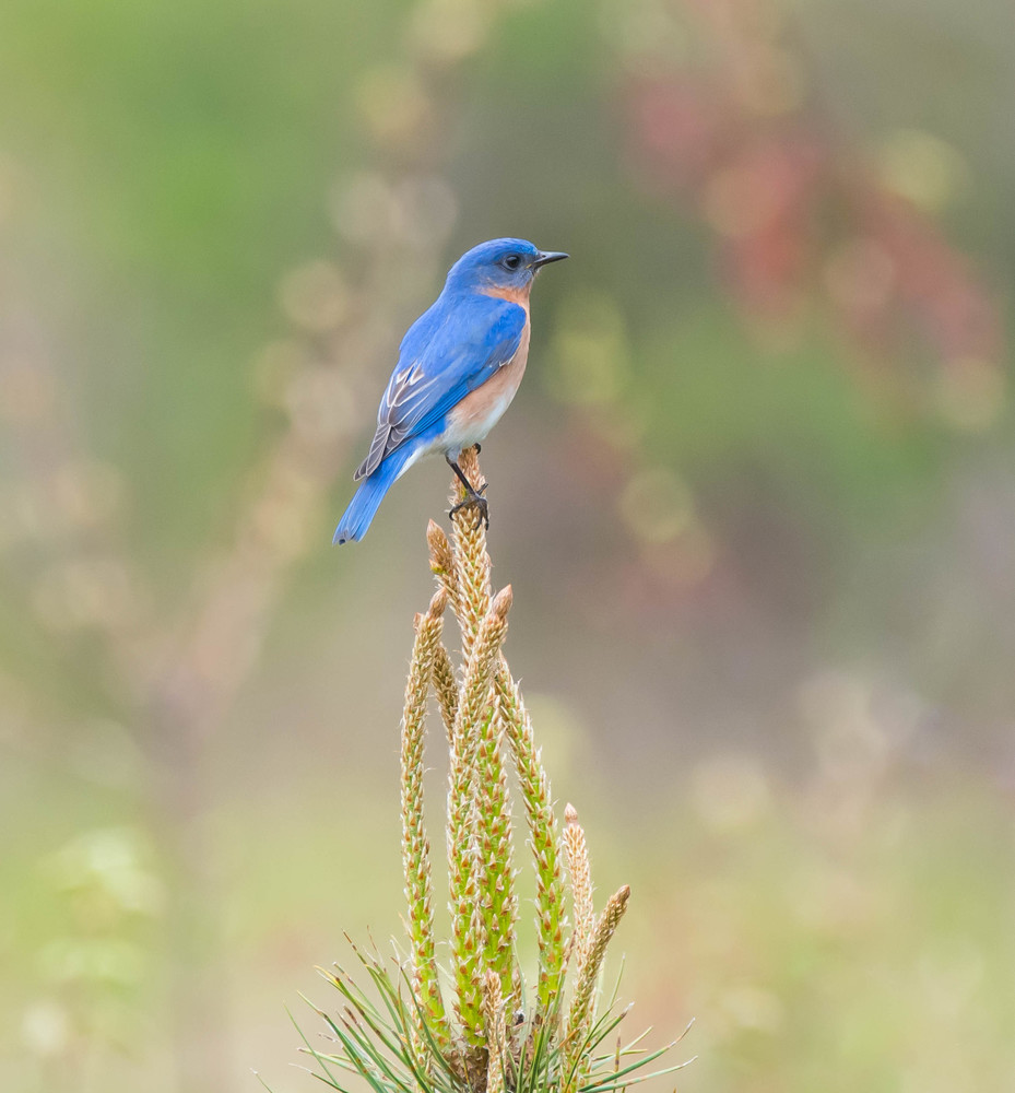 Eastern Bluebird Perched On Pine Art | Sarah E. Devlin Photography