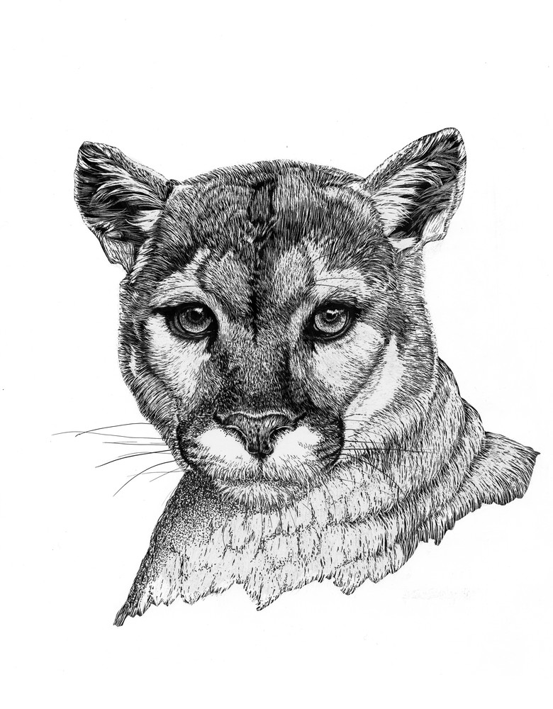 """Keeping Watch""   Mountain Lion Art 