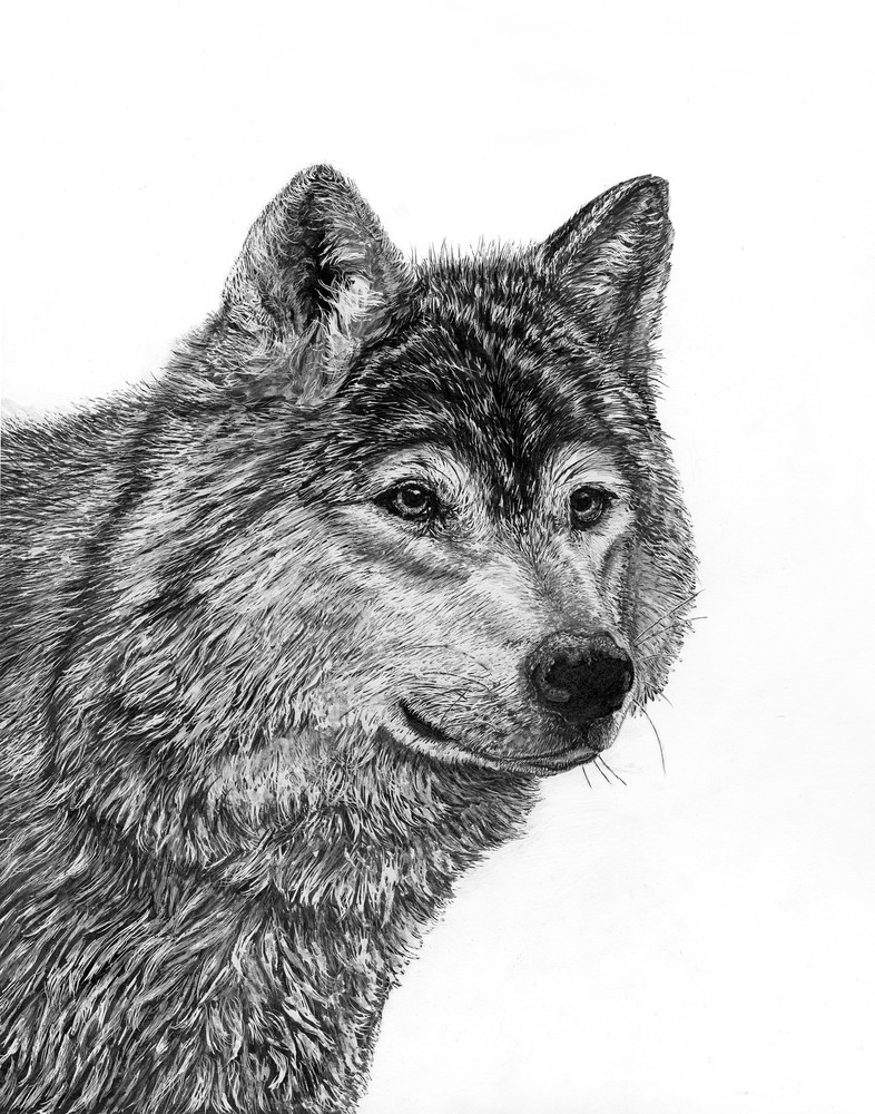 """Alpha Dreams""   Gray Wolf Art 