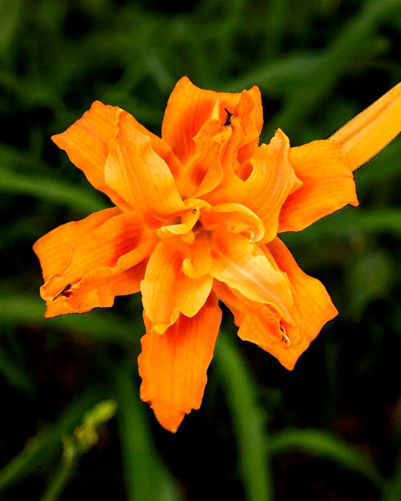 Orange Lily 1 Photography Art | Hatch Photo Artistry LLC