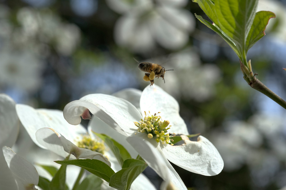 Bee On Blossom Photography Art | Eric Hatch
