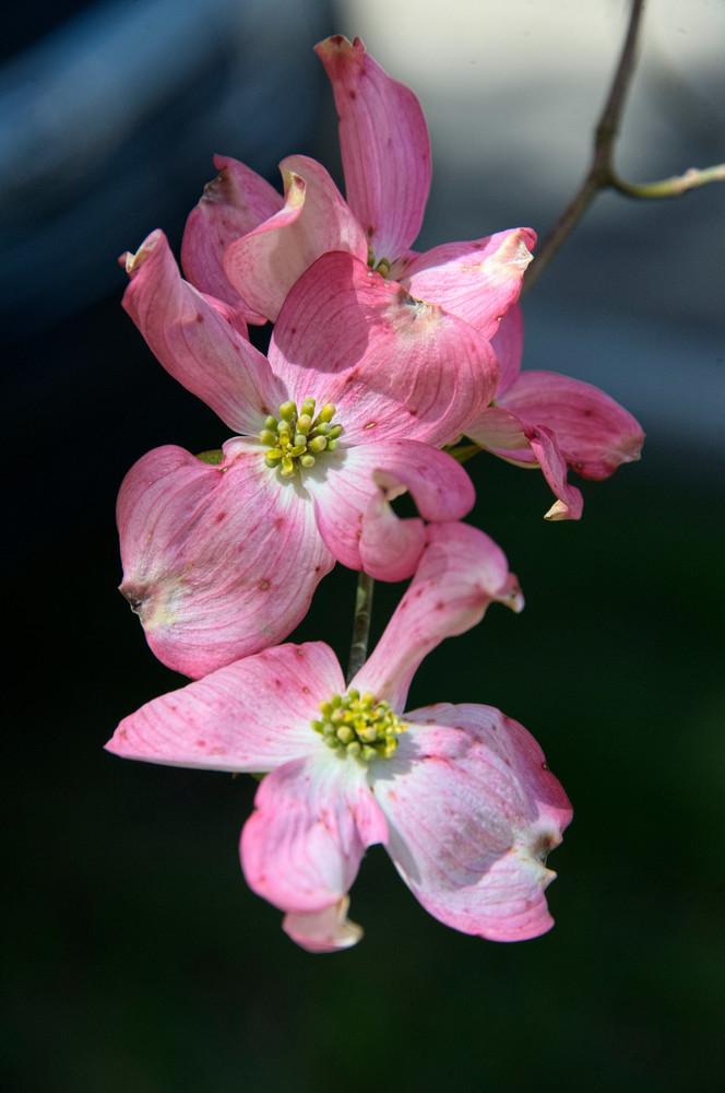 Pink Magnolia Photography Art | Hatch Photo Artistry LLC