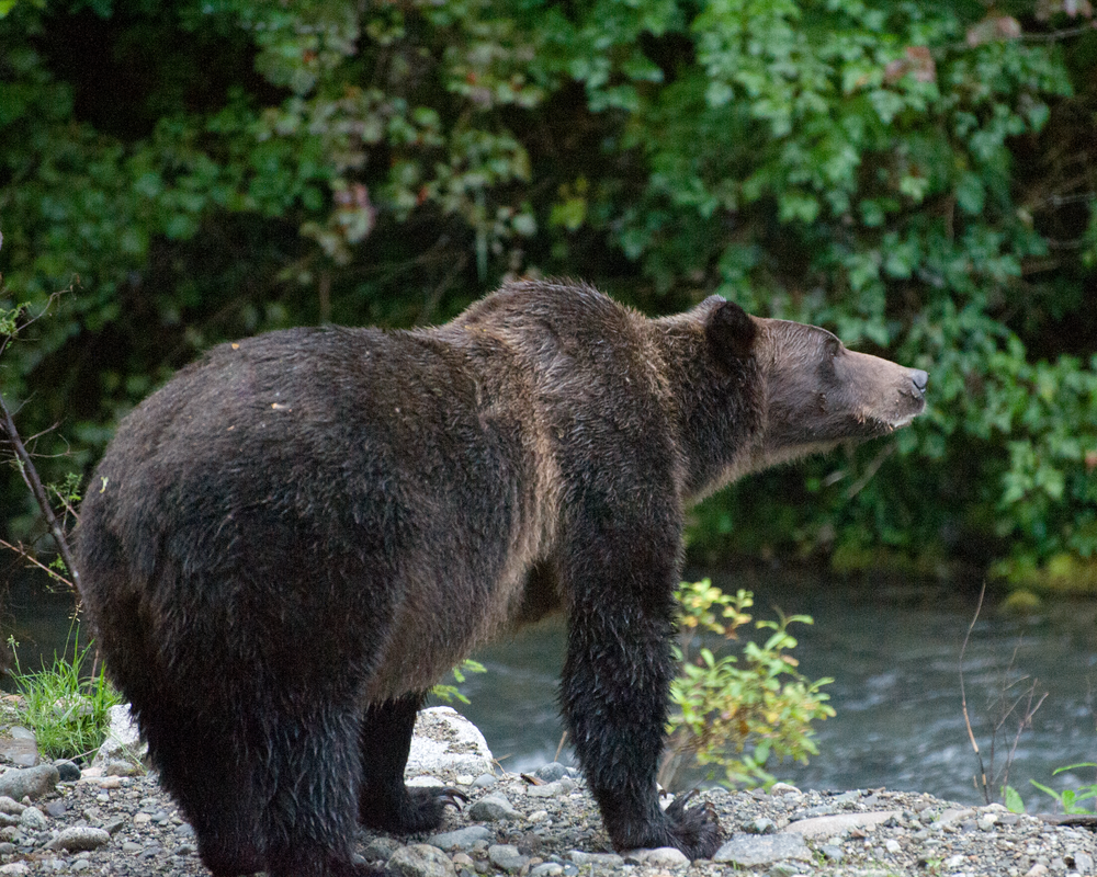 Grizzly Bear On The Lookout Photography Art | Eric Hatch