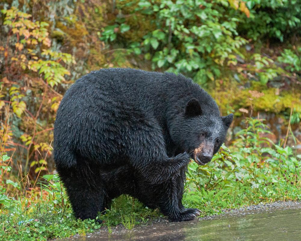 Black Bear Mom Photography Art | Eric Hatch