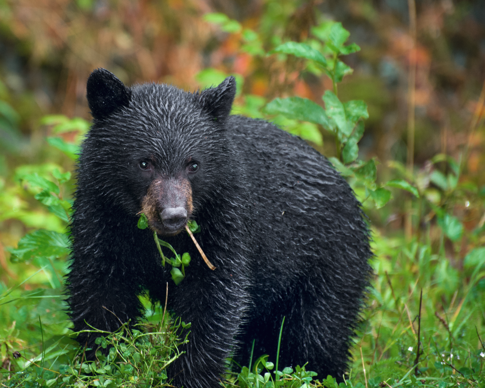 Black Bear Cub In The Rain Photography Art | Eric Hatch