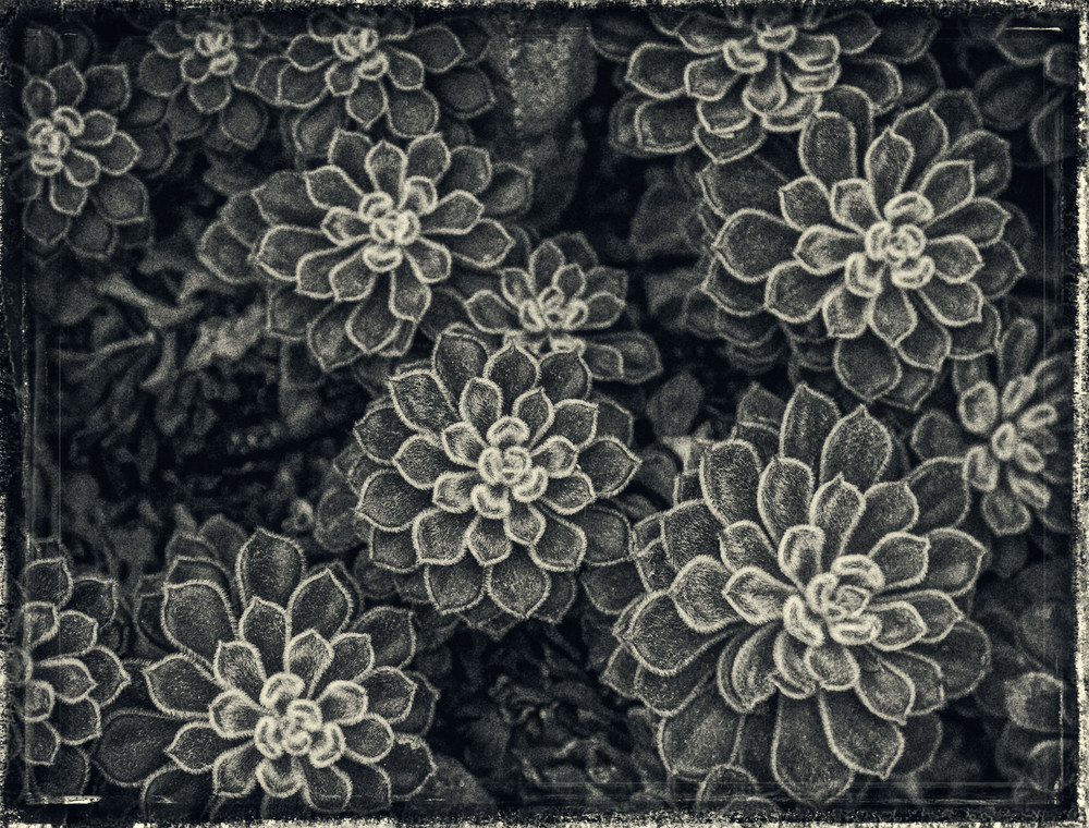 Succulents  Photography Art | David Frank Photography