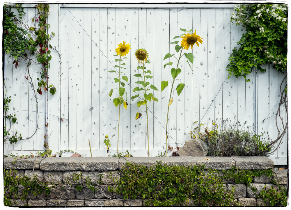 Three Sunflowers Photography Art | David Frank Photography
