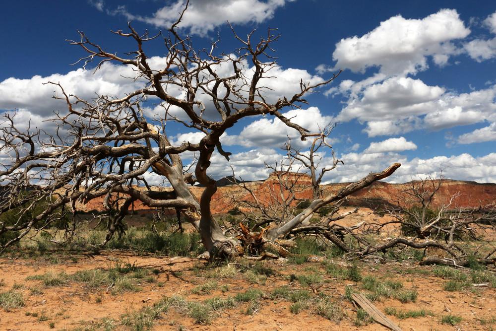 Pinon Tree at Georgia O'Keeffe Ghost Ranch