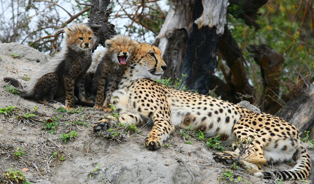 Cheetah Mom And Cubs 7 Art   DocSaundersPhotography