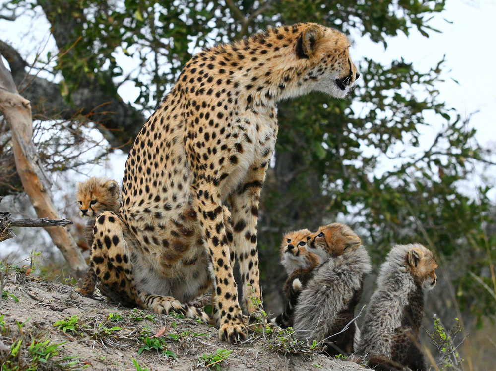 Cheetah Mom And Cubs 4 Art   DocSaundersPhotography