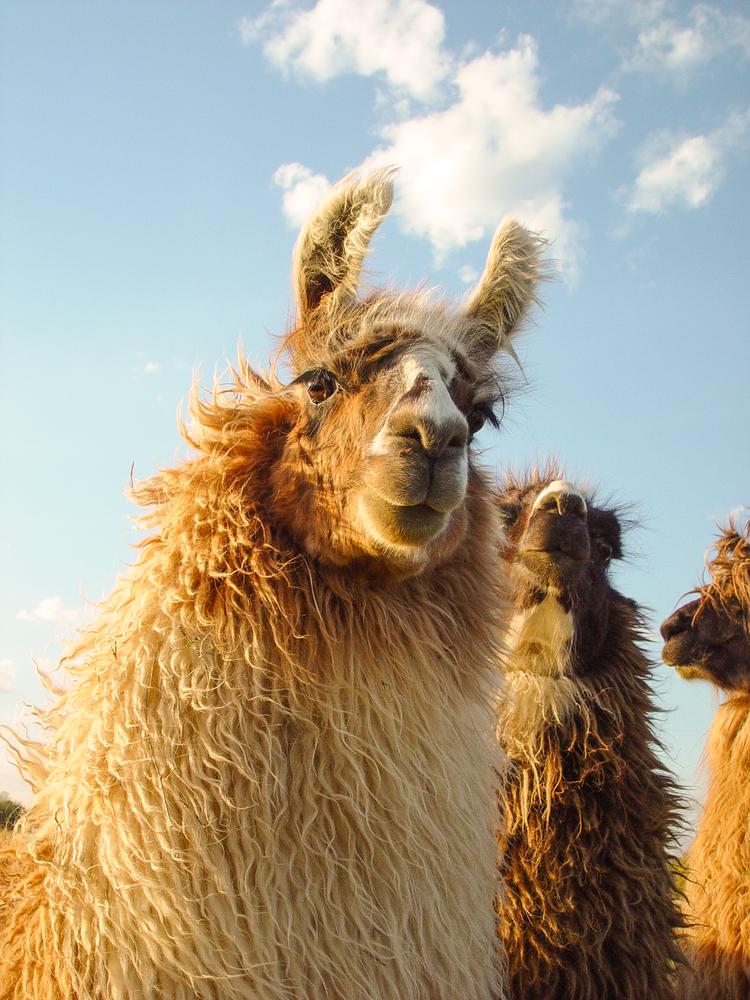 Windblown Blond Llama Sunset Photography Art | Eric Hatch