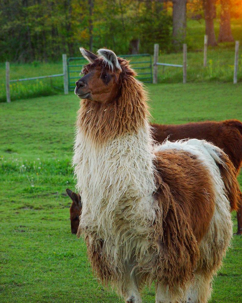 Brown And White Sunset Llama 2 Photography Art | Hatch Photo Artistry LLC